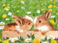 Cavalier King Charles Spaniel – Graceful and Affectionate Cute Baby Bunnies, Cute Baby Animals, King Charles Spaniel, Cavalier King Charles, Rabbit Life, Fluffy Bunny, Bunny Art, Hamsters, Animal Pictures