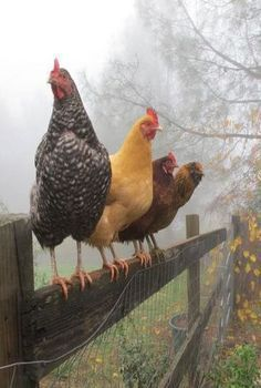 Chickens on the pole - Hühner hens - Country Recipes Farm Animals, Animals And Pets, Cute Animals, Country Life, Country Living, Beautiful Birds, Animals Beautiful, Chickens And Roosters, Farms Living
