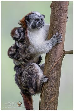 Geoffroy's tamarin (Saguinus geoffroyi) photographed by Miguel Siu in Panama Unusual Animals, Rare Animals, Cute Baby Animals, Animals Beautiful, Animals And Pets, Funny Animals, Strange Animals, National Geographic Animals, Water For Elephants