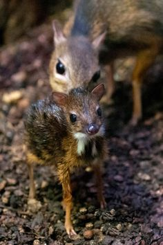 Presenting... A One Day Old Mouse Deer at Zoo Zurich.    http://www.zooborns.com/zooborns/2013/03/presenting-a-one-day-old-mouse-deer.html