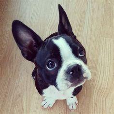 Meet Phaedra, An Adorable Boston Terrier Puppy | iBostonTerrier.com