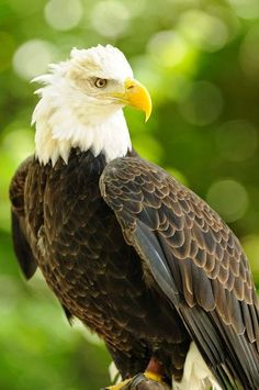 The eagle is a (generally) large sized bird of prey meaning that the eagle is one of the most dominant predators in the sky. Eagles are most commonly found in the Northern Hemisphere including Europe, Asia and North America. Eagles are also found on the African continent.