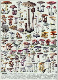 Adolphe Millot - Champignons B - French vintage poster Mini Art Print by dejavustudio Illustration Botanique Vintage, Botanical Illustration, Mushroom Art, Botanical Prints, Botanical Posters, Floral Illustrations, Art Journal Pages, Vintage Prints, Mushroom Varieties