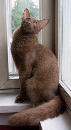 PR Spotless Camelia — Oriental Longhair Cinnamon