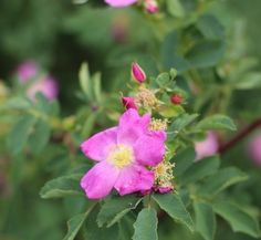 wild-rose-honey-2