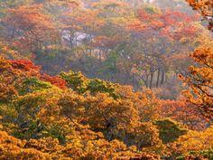 Msasa trees in Rhodesia (now Zimbabwe) (no attribution - apologies to the photographer...)