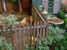 My favorite part of this chicken coop and yard is the picket-type fence.  Because a back yard is already fenced in, the fear of coyotes and other predators isn't an issue.