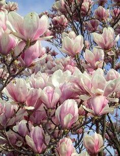 Magnolia Alexandrina: Dit soort heeft prachtige bekervormige grote bloemen.