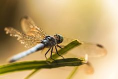 Dragon Fly, Dragon Fly picture, Dragon Fly image, Sunset, Golden Hour, Dragon Fly Photography, Dragon Fly Photo, Picture by BrightArtStudios on Etsy