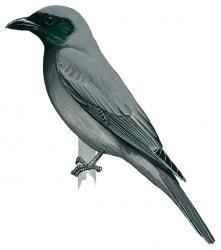 Wallacean Cuckoo-shrike (Coracina personata)