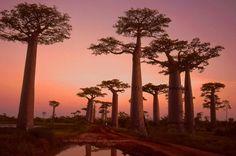 The bizarre baobab forests of Madagascar