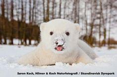Polar bear cub in Scandinavian Wildlife Park  http://www.skandinaviskdyrepark.dk/index.dsp?page=4498