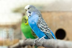 Wild Budgies, Budgie Parakeet, Parakeets, Budgerigar Bird, African Love, Training Tips, Parrot, Birds, Animals