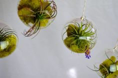 Hanging air plant terrariums by PinkSerissa