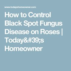 How to Control Black Spot Fungus Disease on Roses | Today's Homeowner