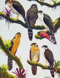#Falcons | #Falconers | Birds Of Prey | Antique Print | Forest Falcons | 1898