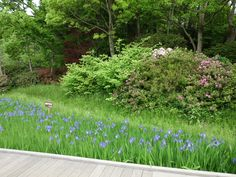 Irises in the park, 6 May 2012