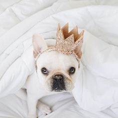 french bulldog | instagram | dogs | puppy  | crown | adorable | love | dog obsessed | frenchie | 8 Adorable Insta-Famous French Bulldogs to Get You Through the End of the Semester