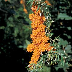 Sea Berry, also known as Sea Buckthorn. Each bush can produce pounds of fruit! The fruit can be made into juice or jam, and different parts of the plant are also medicinal. Gardening For Beginners, Gardening Tips, Sea Berries, Berry Plants, Winter Plants, All Fruits, Wild Edibles, Plants Online, Trees And Shrubs