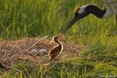natureconservancy:  A mother red-crowned crane feeds its... My blog posts