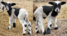 Mini Sheep & Lambs for sale. Harlequins, Shetlands, Cheviots and more! Lambs For Sale, Teacup Piglets, Mini Goats, Mini Donkey, Dwarf Goats, Sheep And Lamb, Paradise Valley, Farm Animals, Wool