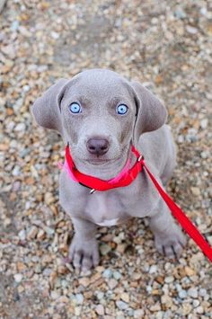10 Dog Breeds That Are Only For Experienced Dog Owners#red leash#blue eyes puppy