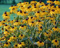 """Finding and Using Native Plants: Why Native? A big part of native gardening can be summed up in the philosophy """"Right Plant, Right Place"""". Here are some native gardening educational resources: Shown: Rudbeckia hirta"""