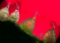 vida microscopica colorida - Buscar con Google Una colorida fotografía microscópica de polarización en la cáscara externa de un pepino fue ampliada 800 veces por el Dr. Robert Rock Belliveau, ...