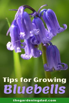Do you want to grow Bluebells, but don't know where to start? Read this article to learn Easy Tips for Growing Bluebells. This is perfect for beginners who wants to grow bluebells indoors, in containers, or in a garden. #bluebells #gardening #flowers Backyard Vegetable Gardens, Garden Plants, Outdoor Gardens, Flowers Perennials, Planting Flowers, Flower Gardening, Gardening For Beginners, Gardening Tips, Organic Gardening