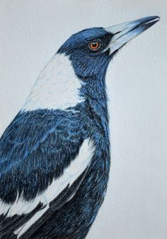 A gallery of all the Birdland Series pastel drawings by artist Rachel Newling, portraits of Australian birds. Bird Drawings, Animal Drawings, Drawing Birds, Horse Drawings, Pastel Drawing, Painting & Drawing, Bird Artists, Bird Artwork, Australian Animals
