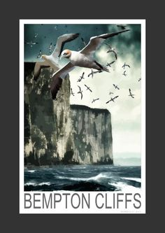 Gannets at Bempton Cliffs in Yorkshire (Art Print)