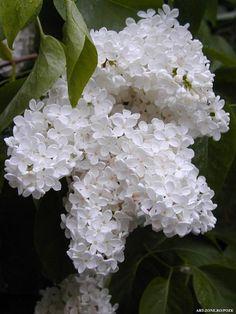 White Liliacs