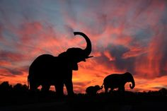 Resultados de la Búsqueda de imágenes de Google de http://images.fineartamerica.com/images-medium/elephants-in-the-serengeti-dustie-meads.jpg