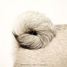Pug tail