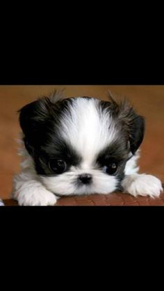 Hello, little one, are you a little Shih Tzu puppy or a Pomeranian? Shih Tzu Puppy, Pet Puppy, Dog Cat, Shih Tzus, Teacup Puppies, Cute Dogs And Puppies, I Love Dogs, Doggies, Cute Baby Animals