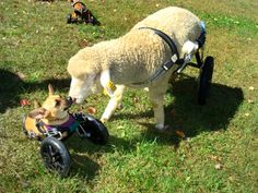 Spin the lamb was unable to walk due to a spinal cord injury. From 12 days until she was 18 months old (and 160 pounds), she used a wheelchair. Here she is at 7 months old, playing Willa, a Chi-weiner born without front legs.