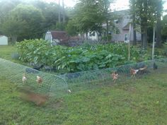 Keep chickens and garden happy