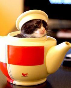 kitty in a tea kettle