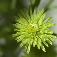 Green flower. #chrysanthemum #petals #bloom #blossom