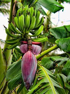 banana-flower.jpg (674×900)