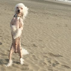 chinese crested beach funny