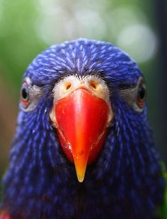 Close up of blue patterned bird head w/orange beak. Photo by Mark Dumont for Getty Images. Kinds Of Birds, All Birds, Cute Birds, Pretty Birds, Beautiful Birds, Bird Pictures, Animal Pictures, Australian Animals, Australian Bush