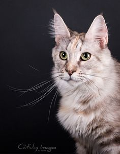 Candycoon's Little Suzie - Maine Coon © Cat'chy Images 2014