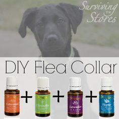 How to make your own non-toxic flea collar for pets with essential oils!! Awesome! http://www.draxe.com #DIY #fleacollar #nontoxic