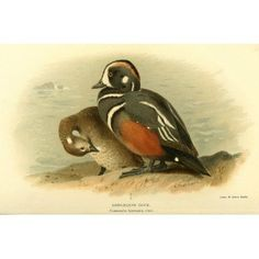Birds of the British Islands 1885 Harlequin Duck Canvas Art - A Thorburn (24 x 36)