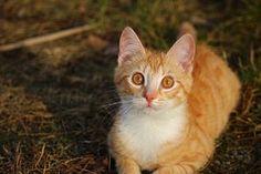 Gato, Gatinho, Tabby Vermelho Cavala