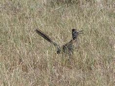 I was dumbfounded the first time I saw a roadrunner in real life. Even more so when it didn't go 'beep beep'!