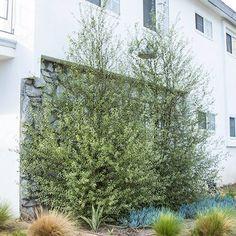 Silver Sheen Kohuhu Back Garden Landscaping, Privacy Landscaping, Backyard Plants, Garden Yard Ideas, Country Landscaping, Backyard Patio, Pittosporum Silver Sheen, California Backyard, Modern Front Yard