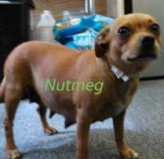 Nutmeg is an adoptable Chihuahua Dog in Amsterdam, NY. Nutmeg was rescued from a high kill shelter in GA. She is about 3 years old and very friendly....
