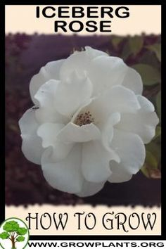 Iceberg rose - All gardening information grow and care, amount of water, sun exposure, planting season, blooming season, hardiness zone, height of the plants, pruning season, pests and diseases, growth speed, uses of the plant, flowers color , if it's grow as houseplant, tips and much more #gardening, #flowers, #plants